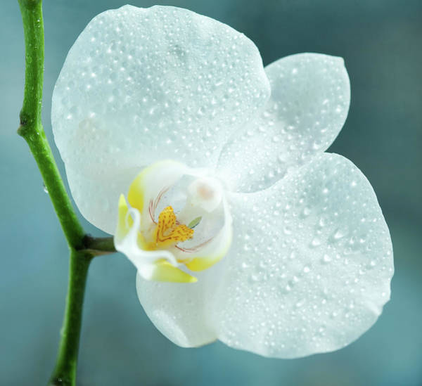 Freshness Photograph - White Orchid by Nadyaphoto