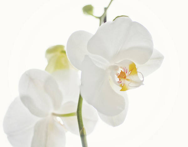 Bleached Photograph - White Orchid by Trudie Davidson
