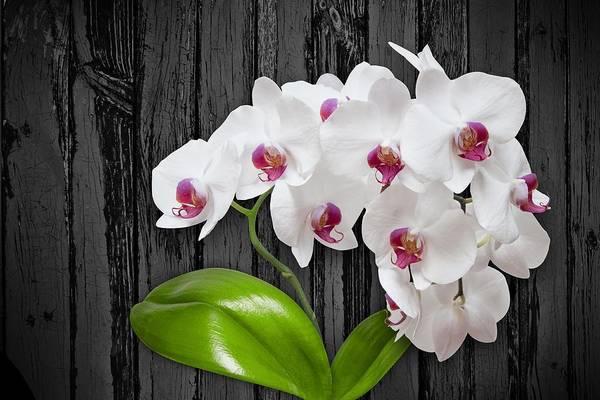 Photograph - White Orchids On Wood Bark by Art Shack