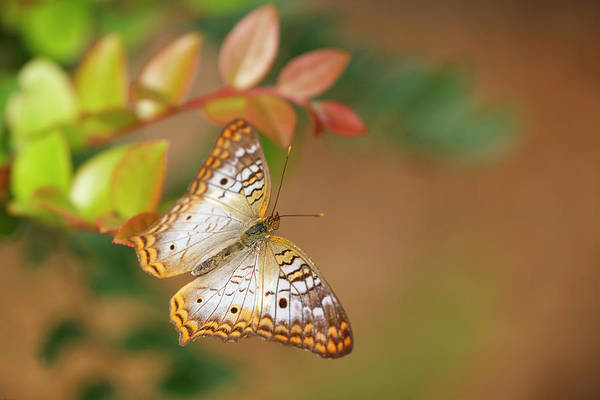 Photograph - White Peacock Butterfly On Orange by Wes and Dotty Weber