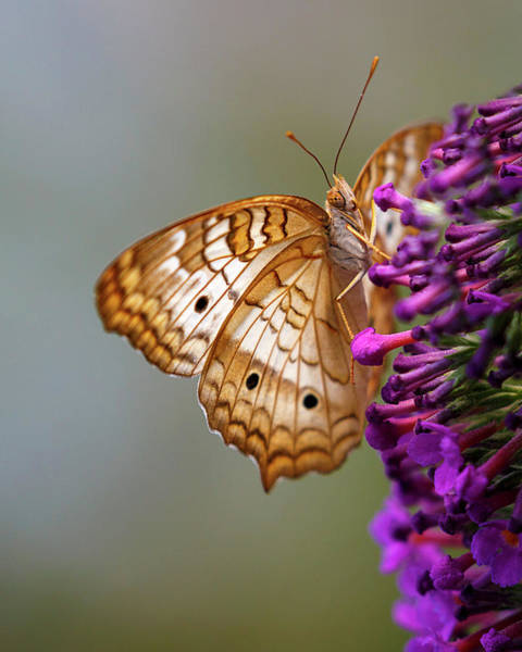 Photograph - White Peacock Butterfly by Wes and Dotty Weber