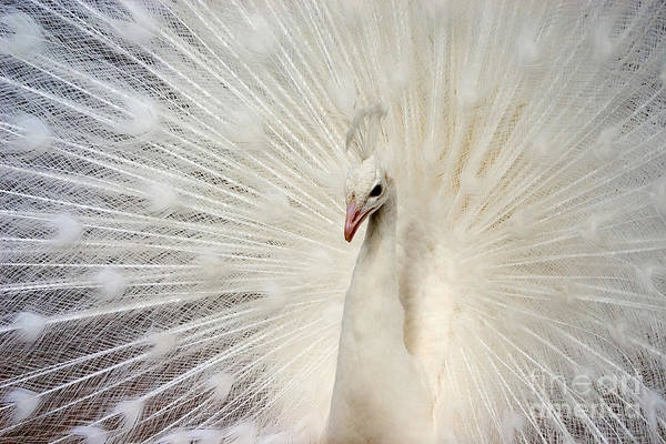 Wall Art - Photograph - White Peacock by Richard F Cox