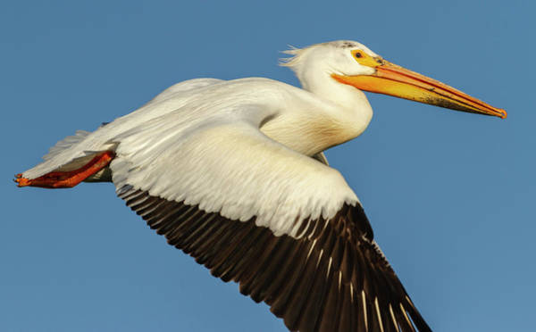 Photograph - White Pelican 2014-1 by Thomas Young