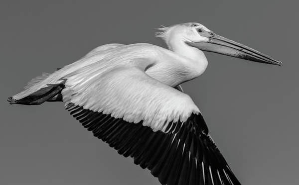 Photograph - White Pelican 2014-2 by Thomas Young
