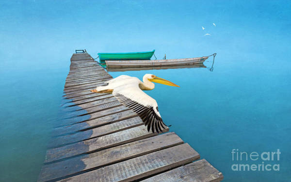Shorebird Photograph - White Pelican And Ocean Blue by Laura D Young