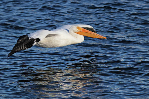 Photograph - White Pelican Cruising by Karl Ford