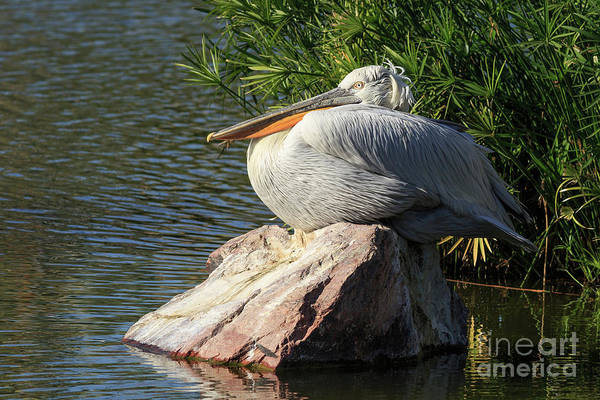 Photograph - White Pelican by Edward Fielding