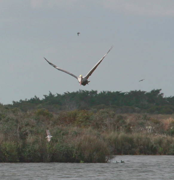 Pelican Island National Wildlife Refuge Wall Art - Photograph - White Pelican Flying Over Pea Island by Cathy Lindsey