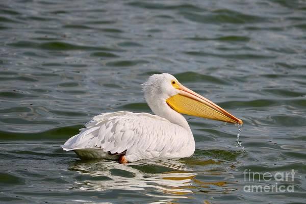 Photograph - White Pelican In Lake Morton by Carol Groenen