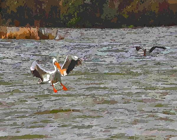 Pelican Island National Wildlife Refuge Wall Art - Photograph - White Pelican Landing On Sound 2 by Cathy Lindsey