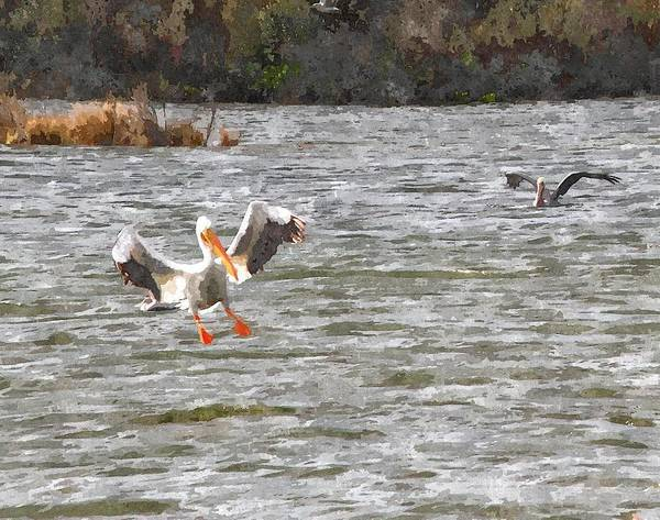 Pelican Island National Wildlife Refuge Wall Art - Photograph - White Pelican Landing On Sound 3 by Cathy Lindsey