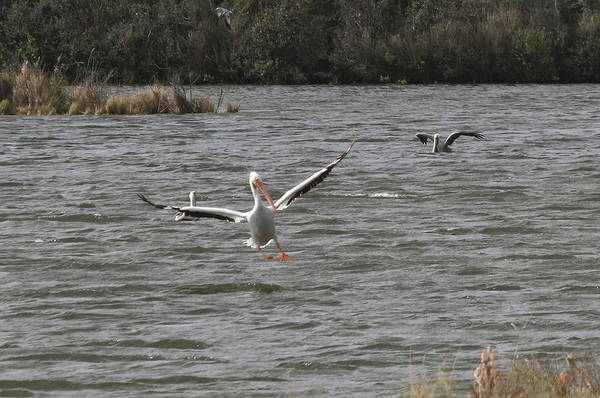 Pelican Island National Wildlife Refuge Wall Art - Photograph - White Pelican Landing On Sound 4 by Cathy Lindsey