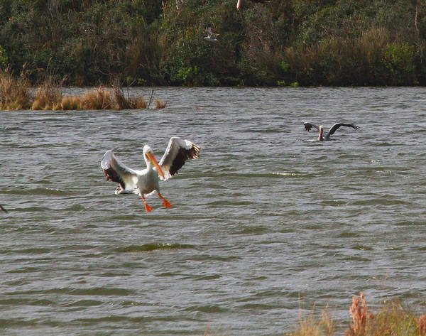 Pelican Island National Wildlife Refuge Wall Art - Photograph - White Pelican Landing On Sound by Cathy Lindsey