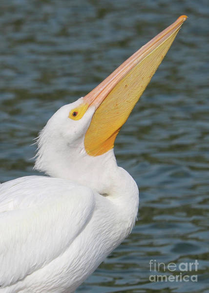 Wall Art - Photograph - White Pelican Profile Pose by Carol Groenen
