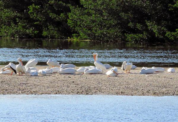 Photograph - White Pelican Rest by Rosalie Scanlon