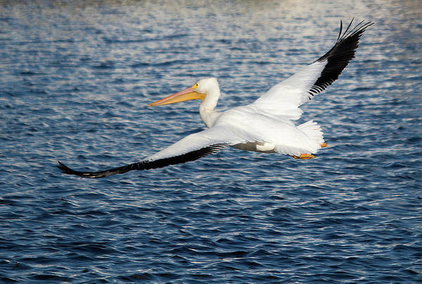 Photograph - White Pelican Wingspan by Karl Ford