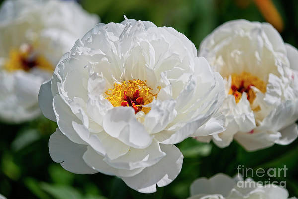 Photograph - White Peonies by Craig Leaper
