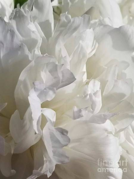 Photograph - White Peony Bloom by Rachel Hannah