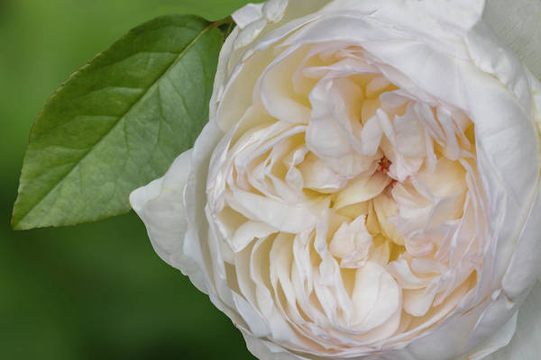 Photograph - White Peony Flower by Susan Candelario