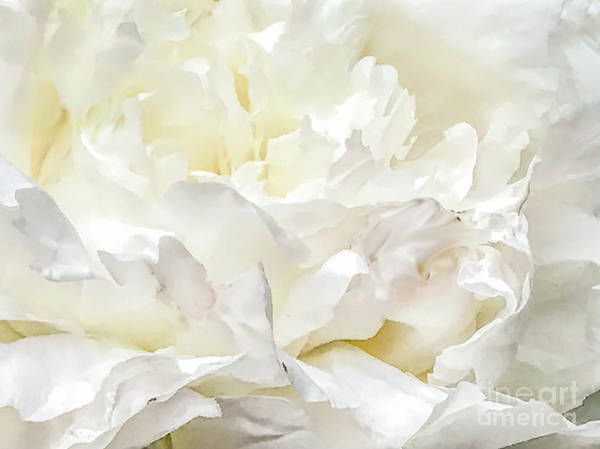 Photograph - White Peony by Randy J Heath