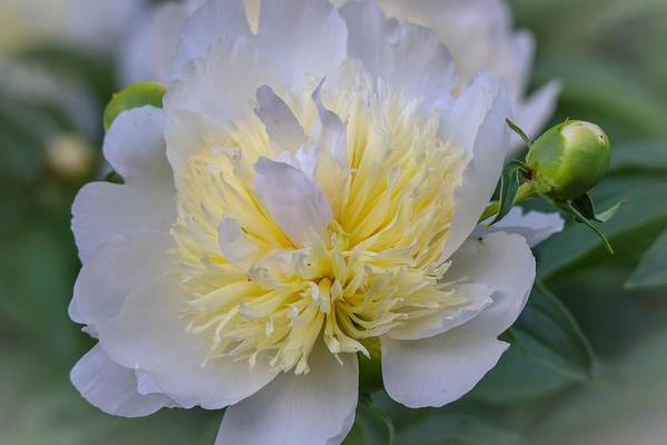 Photograph - White Peony by Susan Rydberg