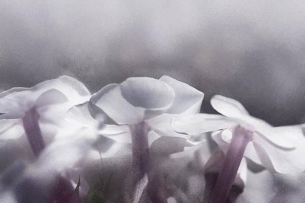 Floristry Photograph - White Phlox by Margarita Buslaeva
