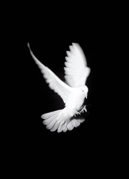 Photograph - White Pigeon In Flight, Black by Eryk Fitkau