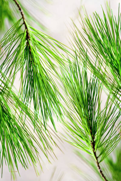 Photograph - White Pine Branch by Christina Rollo