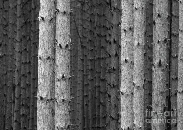 Photograph - White Pines Black And White by Paula Guttilla