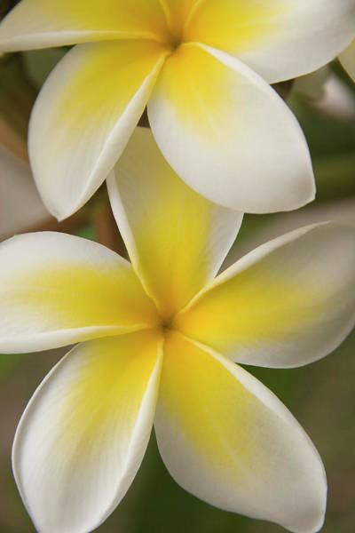 Big Island Photograph - White Plumeria by Hpphoto