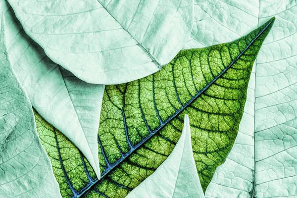 Leafy Greens Photograph - White Poinsetta Macro by Tom Mc Nemar