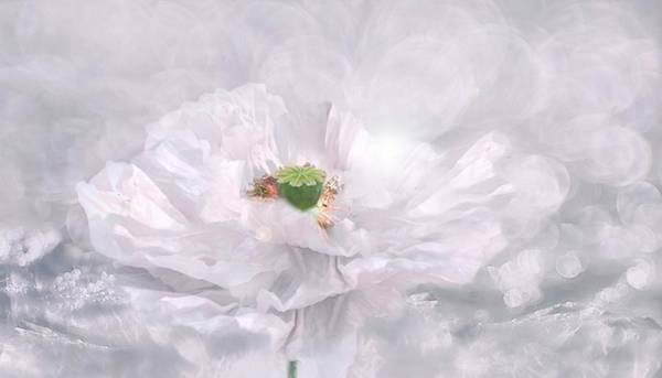 Painting - White Poppy Haze by Shabby Chic and Vintage Art