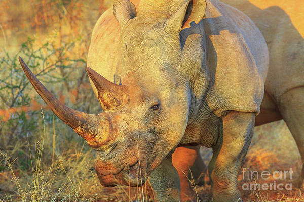 Photograph - White Rhino Africa by Benny Marty