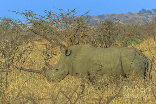 Photograph - White Rhino In Umfolozi by Benny Marty