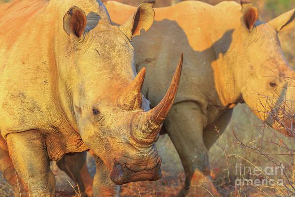 Photograph - White Rhino Safari by Benny Marty
