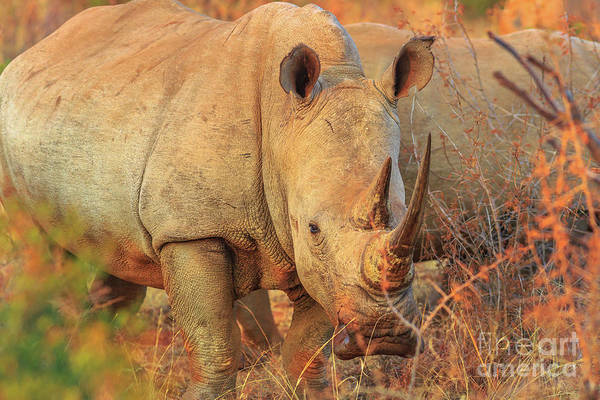 Photograph - White Rhino South Africa by Benny Marty