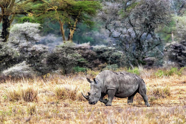 Wall Art - Photograph - White Rhino Walking Side In Lake Nakuru Kenya by Susan Schmitz