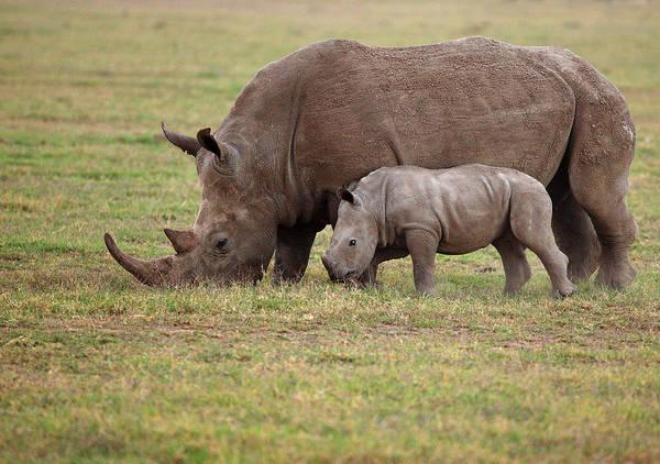 Grazing Photograph - White Rhinocero Grazing Side By Side by Achim Mittler, Frankfurt Am Main