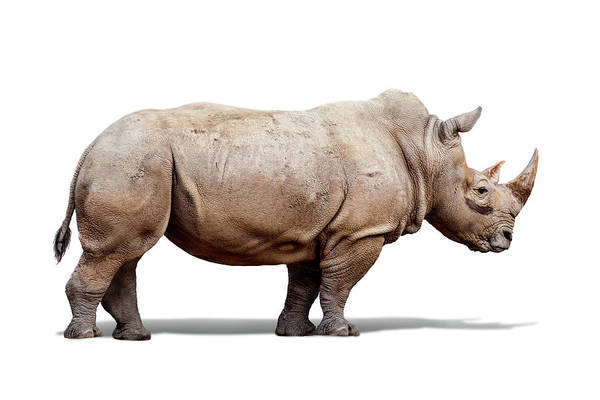 Wall Art - Photograph - Southern White Rhino Named Lou Lou by Susan Schmitz
