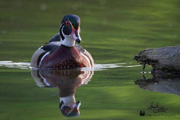 Photograph - White Rock Wood Duck by David Cutts