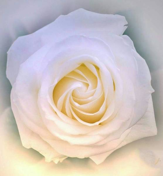 Photograph - White Rose by AE collections