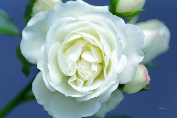 Photograph - White Rose Bloom by Christina Rollo