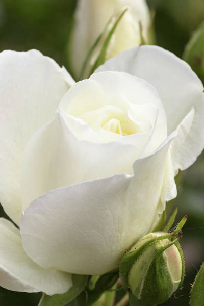 Wall Art - Photograph - White Rose, International Rose Test by William Sutton