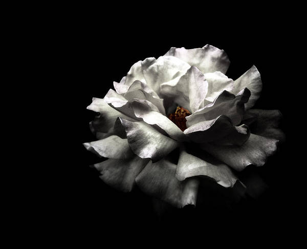 Black Background Photograph - White Rose by Lola L. Falantes
