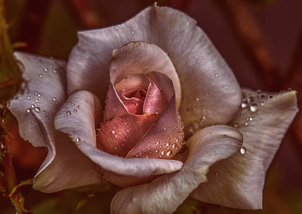 Photograph - White Rose Raindrops #i8 by Leif Sohlman