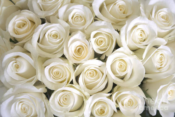 Wall Art - Photograph - White Roses Background by Ev Thomas