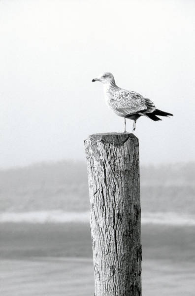 Wall Art - Photograph - White Seagull On Post, Cape Cod by Steven Emery