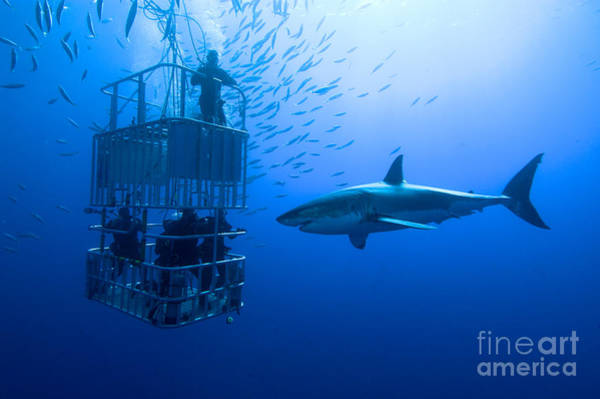 Friendly Wall Art - Photograph - White Shark, Cage  Great White Shark by Stefan Pircher