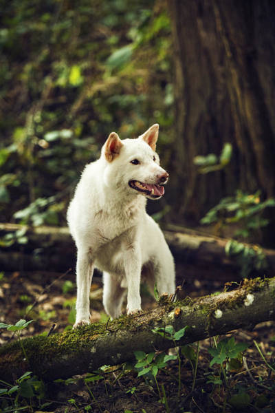 Wall Art - Photograph - White Shiba Inu Canis Lupus Familiaris Stands On A Tree Trunk In The Forest Switzerland by imageBROKER - Stephanie Hafner