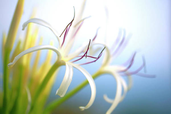 Spider Lily Wall Art - Photograph - White Spider Lily Hymenocallis, Macro by Pete Walentin